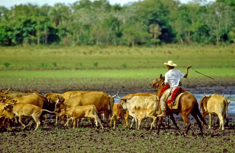 Vaqueiro é atividade de risco e empregado dever indenizar por ...